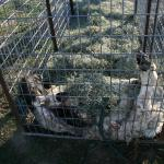 Cougar trap and dead ram