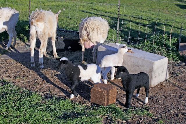 lambs-002.jpg